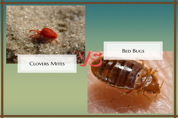 Clover Mites Vs Bed Bugs